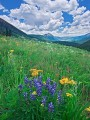 Crested Butte lupines print