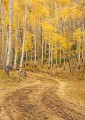 Winding Road through the Aspens print