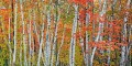 Colorful Birch Trees print