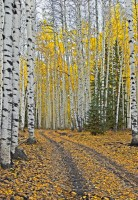 Roads through the Aspens