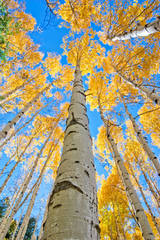 photo, crested butte, kebler pass, Colorado, aspens, blue sky, autumn, photography, fine art prints, Mike Barton