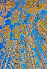 photo, Vail, Colorado, aspens, blue sky, autumn, photography, fine art prints, Mike Barton