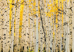 photo, Kebler Pass, Crested Butte, aspens, photography, fine art prints, Mike Barton