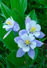 Columbine, Robinson Basin, Crested Butte, colorado, photography, fine art prints, Mike Barton