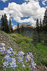 columbine, Ouray, photograph, wildflowers, Colorado, photography, fine art prints, Mike Barton