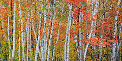 birch grove, Harbor Springs, michigan, aspens, photograph, prints, Mike Barton, charlevoix