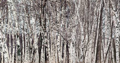 birch grove, Harbor Springs, michigan, aspens, photograph, prints, Mike Barton
