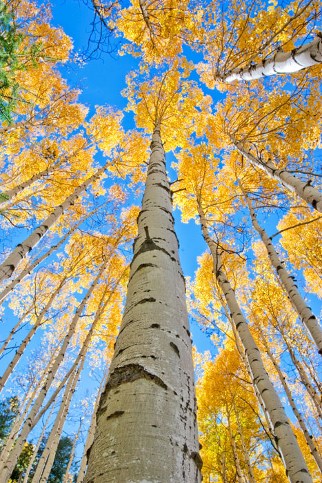 photo, crested butte, kebler pass, Colorado, aspens, blue sky, autumn, photography, fine art prints, Mike Barton, photo