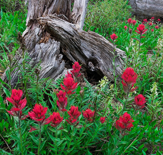 Paintbrush, Robinson Basin, photograph, wildflowers, Colorado, photography, fine art prints, Mike Barton