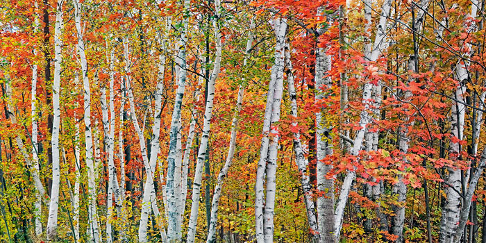 birch grove, Harbor Springs, michigan, aspens, photograph, prints, Mike Barton, charlevoix, photo